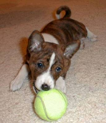 Adorable brindle basenji puppy